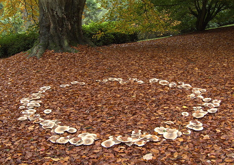 Fungal Fairy ring - Wikipedia ©